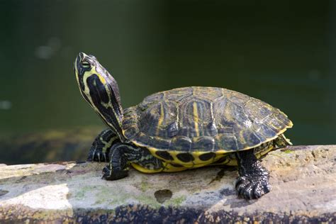 fluttering claws signal  red eared slider turtles
