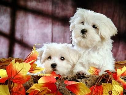 Fluffy Puppies Cute Puppy Maltese Dog Cuddly