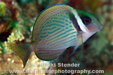 whitebar surgeonfish acanthurus leucopareius