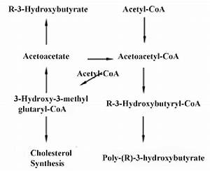 Biosynthesis Of Phb  Biosynthetic Pathways For Phb