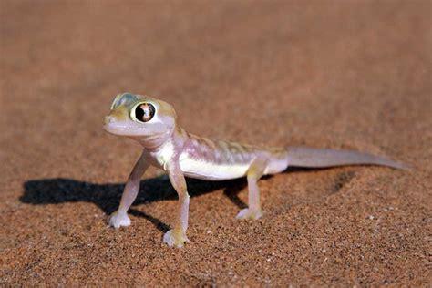 gecko lizard lizard species profile page