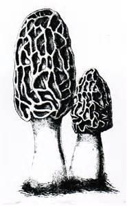 Morel Mushroom Drawings