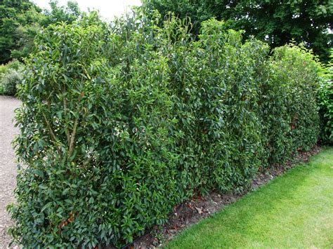 hedge bushes laurel hedge images femalecelebrity