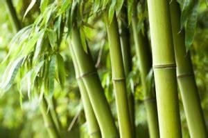 Pflanzen Für Raucher : pflegetipps f r den winterfesten bambus ~ Markanthonyermac.com Haus und Dekorationen