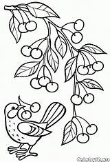 Coloring Branch Cherry Pear Cherries Pages Print sketch template