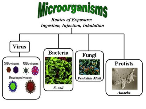 What Are The Names Of Microorganisms That Are Useful To Us