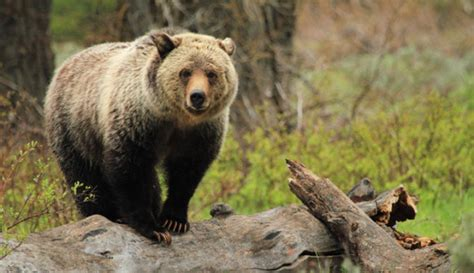 hiker killed  grizzly bear  yellowstone national park