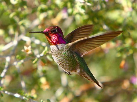 hummingbird wallpapers pixelstalknet