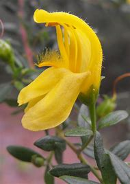 Yellow Snapdragon Flowers