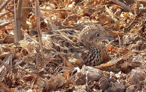 andalusian morocco sylvaticus buttonquail turnix hemipode andalousie maire benoit sidi abed 2007 palearctic western