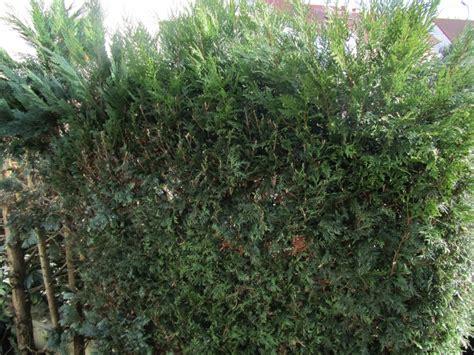 thuja hecke giftig thuja der lebensbaum ist giftig und kann lebensgef 228 hrlich werden alternativ gesund leben de