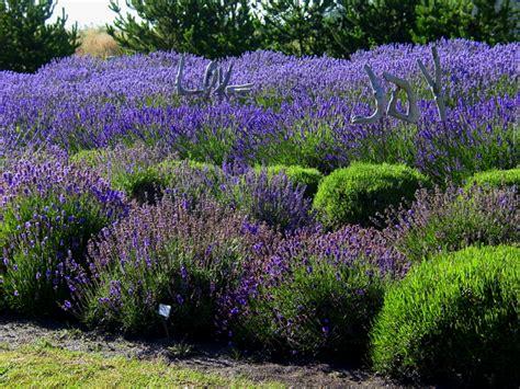 varieties of lavender varieties of lavender lavender wind farm