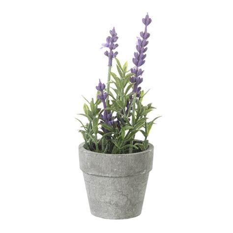 lavender potted plants potted lavender plant decorum