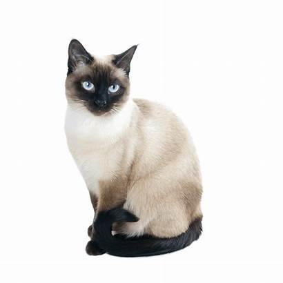 Gatto Siamese Advance Chilogrammi Peso