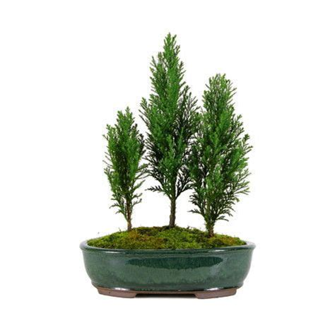 european cypress christmas tree 1000 ideas about bonsai trees for sale on bonsai bonsai trees and bonsai plants