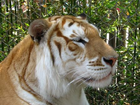 Golden Tiger Cats Animals Background Wallpapers