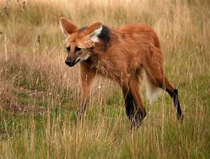 Hd Maned Wolf Pics
