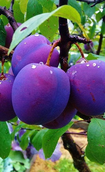small purple plum beautiful thanksgiving and amigos on pinterest