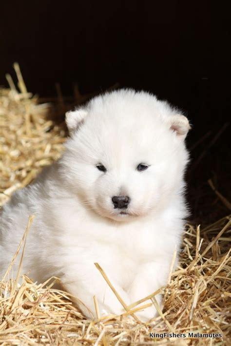 white alaskan malamute puppy alaskan malamute puppies