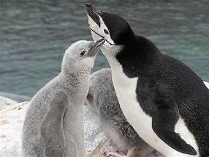 Chinstrap Penguin Facts, Habitat, Diet, Predators, Pictures