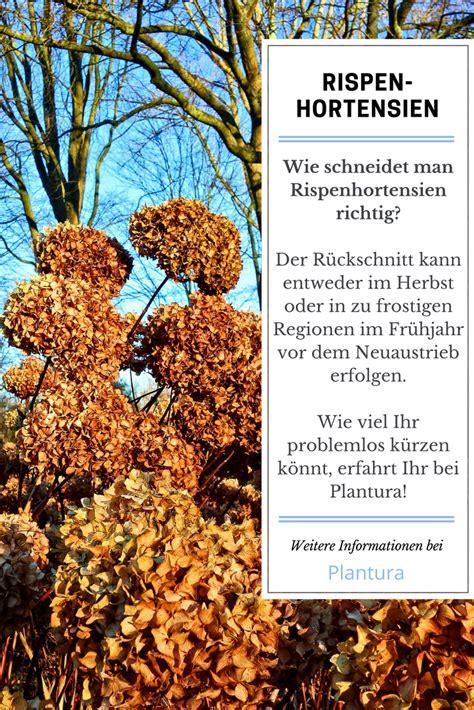 Hortensien Schneiden Wann Und Wie by Hortensien Schneiden Wann Und Wie Zur 252 Ckschneiden