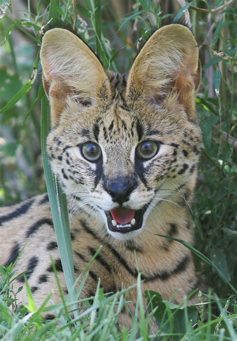 1000+ Images About Felinidaewild Cats Of The World On