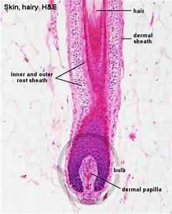 Foundations - Histology Epithelia And Skin