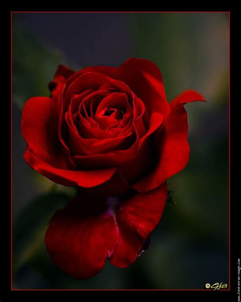 foto de Rose rouge passion portrait Fleur Nature Photo Fond