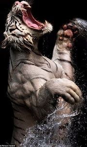 White Bengal Tiger   Animal photography, Animals, Cats