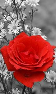 Red Rose Live Wallpaper - Android Apps on Google Play