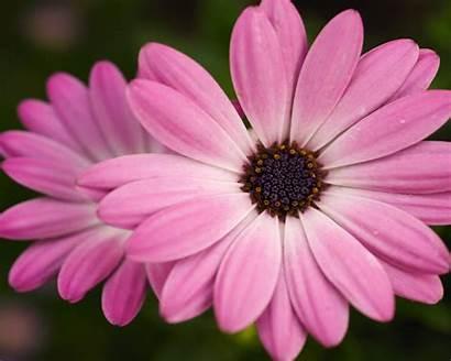 Computer Flower Pink Backgrounds Desktop Flowers Wallpapers
