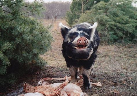 feral pigs  coyotes     galesburgs