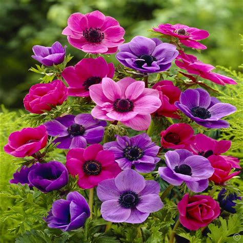 anemone coronaria de caen 20 flower bulbs buy