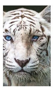 How A Genetic Mistake Can Save White Tigers - YouTube