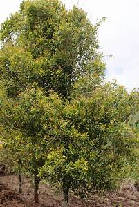File:Clove trees.JPG - Wikimedia Commons