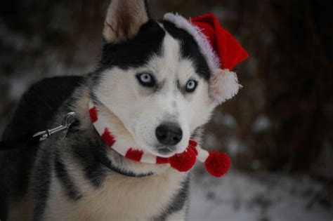 Christmas Husky Dog Pictures, Photos, and Images for