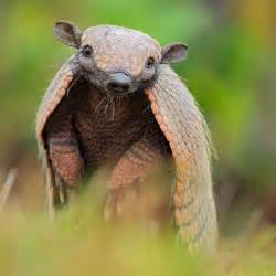 You Know About the Armadillo