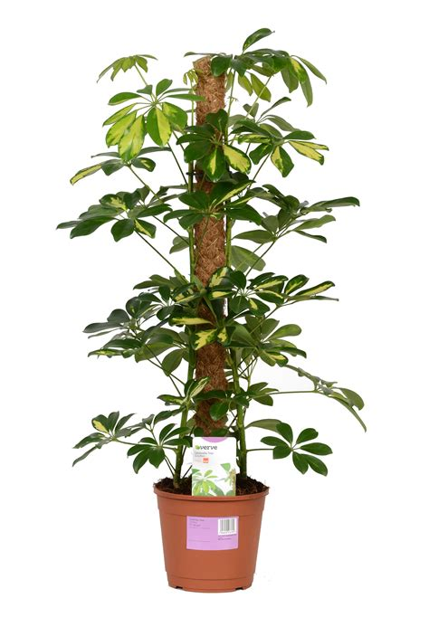 verve umbrella tree  plastic pot departments diy  bq