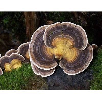 Trametes versicolor Turkeytail fungus
