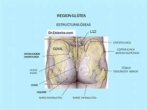 anatomical diagram of the buttocks ANATOMÍA de las