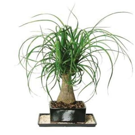brussels bonsai ponytail palm indoor dt ptp
