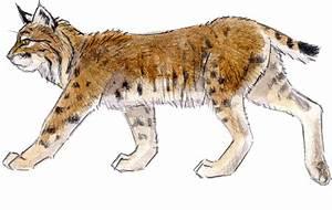 Introduction To Drawing Mammals John Muir Laws