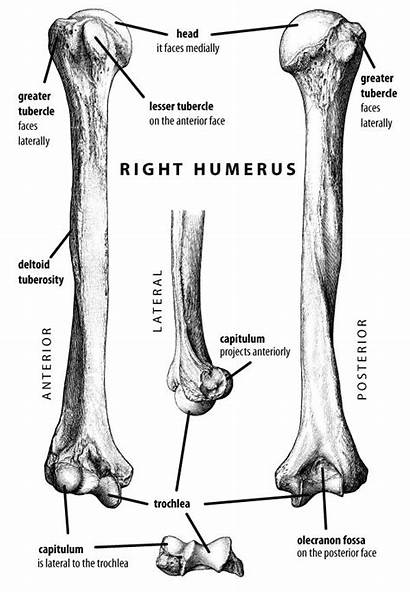 Anatomy Coloring Pages Bones Humerus Labeled Fossa