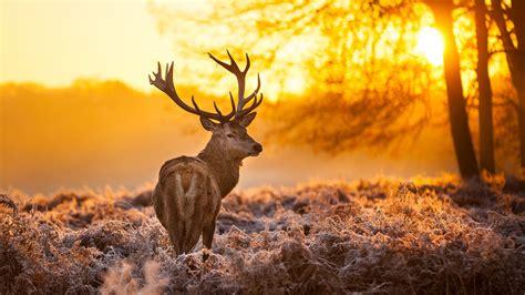 wallpaper deer  hd wallpaper wild sun yellow