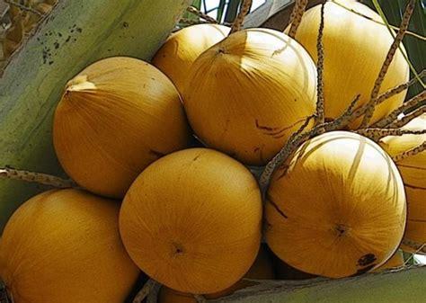 mengenal manfaat buah kelapa  kandungan buah kelapa