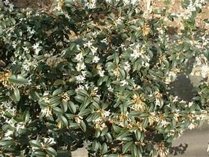 Arbuste Persistant Haie : osmanthus burkwoodi lot de 15 plants osmanthe de ~ Premium-room.com Idées de Décoration