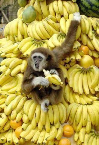 funny monkey  mountain  bananas luvbat