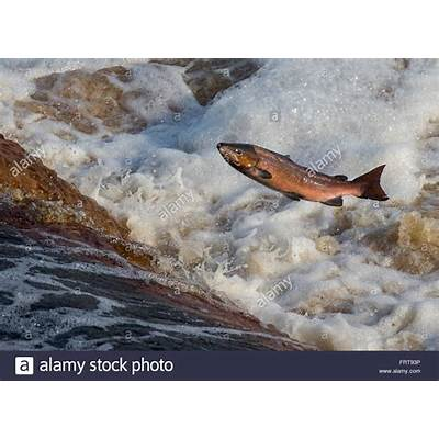 Atlantic Salmon (salmo Salar) Leaping Weir On Upstream