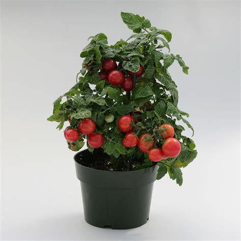 Sweet N Neat Scarlet Tomato  Container Cherry Tomatoes