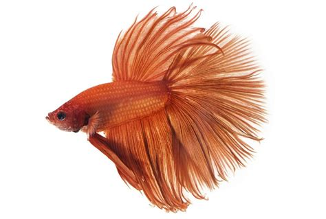 facts  care tips   beautiful crowntail betta fish